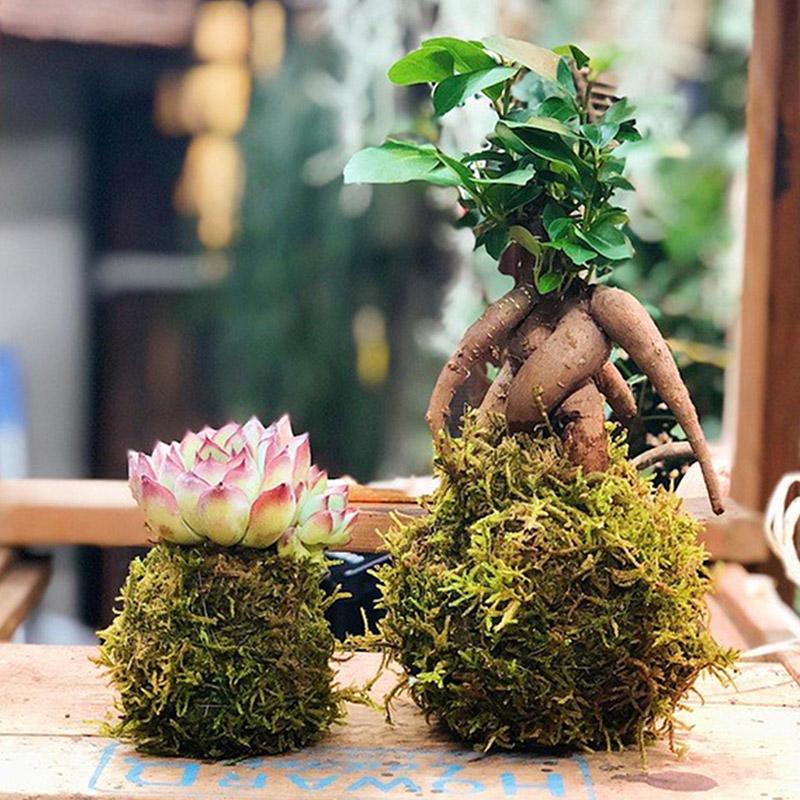 ガジュマルと多肉植物の苔玉